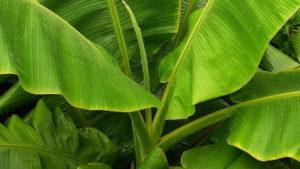 輸出業者 バナナの葉 インドネシア 1